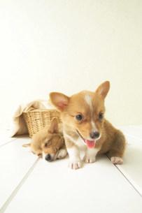 犬の写真素材 [FYI03950811]