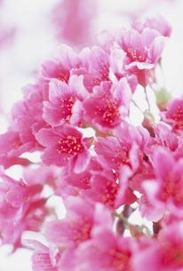 桜の写真素材 [FYI03952549]