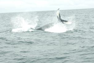 ケープコッドのクジラの写真素材 [FYI03954131]