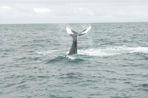 ケープコッドのクジラの写真素材 [FYI03954132]