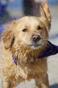 水を振るい落とす犬の写真素材 [FYI03954145]