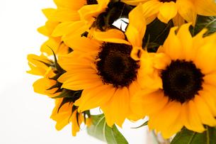 ひまわりの花の写真素材 [FYI03955623]