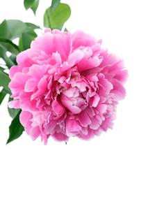 牡丹の花の写真素材 [FYI03955759]