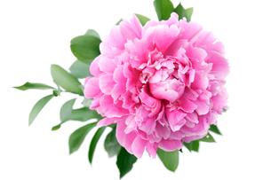牡丹の花の写真素材 [FYI03955760]
