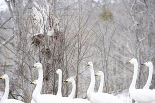 屈斜路湖の白鳥の写真素材 [FYI03955979]