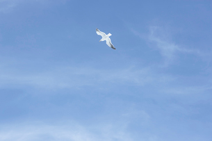 野付半島の空を飛ぶ鳥の写真素材 [FYI03955985]