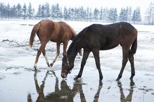 洞爺湖の馬の写真素材 [FYI03956003]