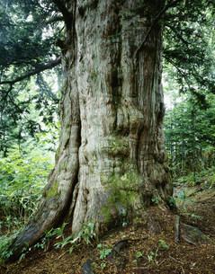 黄金山のイチイの巨木の写真素材 [FYI03956397]