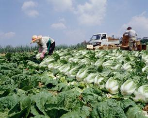 春白菜の収穫の写真素材 [FYI03956410]