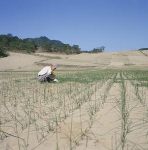 ラッキョウを栽培する人 鳥取砂丘の写真素材 [FYI03956417]