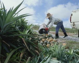 パイナッブルの収穫の写真素材 [FYI03956419]
