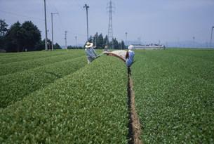 茶畑で働く人々 牧の原の写真素材 [FYI03956423]