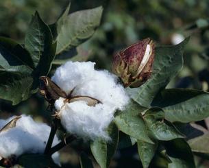綿の写真素材 [FYI03956489]