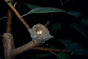アオミミハチドリの卵橿原昆虫館の写真素材 [FYI03956497]