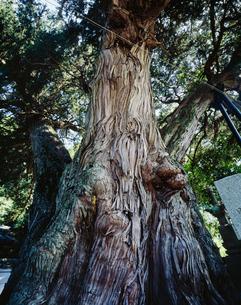 柏槙 ヒノキ科 上郡町の写真素材 [FYI03956531]