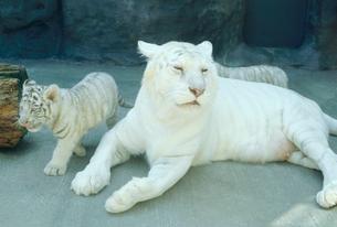 宝塚動植物園のホワイトタイガーの写真素材 [FYI03956532]