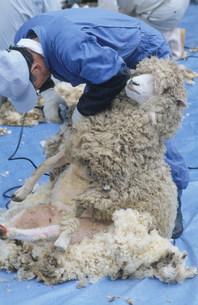めん羊の剪毛の写真素材 [FYI03956570]