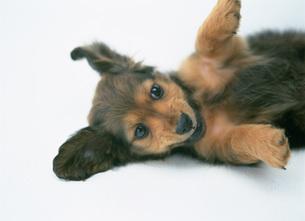 ミニチュアダックスフンドの子犬の写真素材 [FYI03956861]