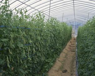 ハウス栽培のエンドウ豆の写真素材 [FYI03957164]