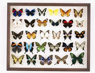 蝶の標本箱の写真素材 [FYI03957168]