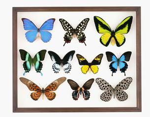 蝶の標本箱の写真素材 [FYI03957170]
