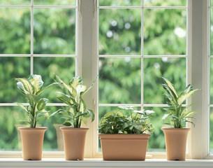 窓辺の観葉植物の写真素材 [FYI03957259]