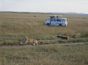 ライオンを見る観光客 マサイマラの写真素材 [FYI03957272]