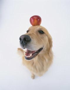 リンゴをのせたゴールデンリトリバーの写真素材 [FYI03957590]