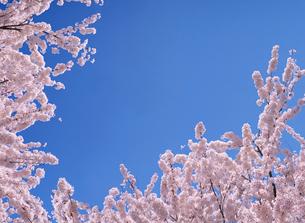 青空と桜の写真素材 [FYI03957609]