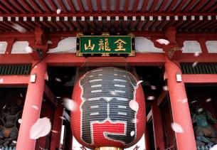 浅草寺の雷門に舞う桜吹雪の写真素材 [FYI03957765]
