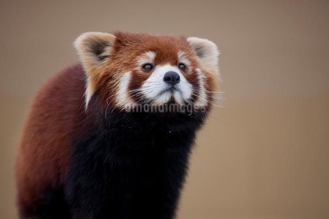 旭山動物園 レッサーパンダの写真素材 [FYI03958084]