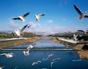 賀茂川雪景とユリカモメの写真素材 [FYI03958382]