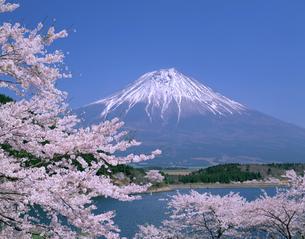 桜と富士山の写真素材 [FYI03958387]