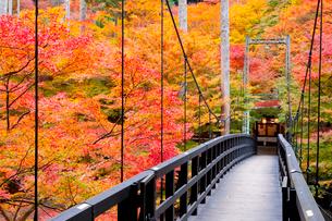 吊り橋と紅葉 高雄の写真素材 [FYI03958559]