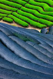 かぶせ茶のある茶畑の写真素材 [FYI03958837]