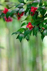 藪椿と竹林の写真素材 [FYI03958861]