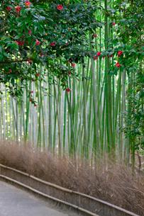 藪椿と竹林の写真素材 [FYI03958862]