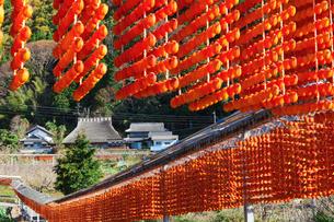 串柿の写真素材 [FYI03958957]