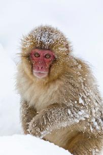 雪の中のサルの写真素材 [FYI03959079]
