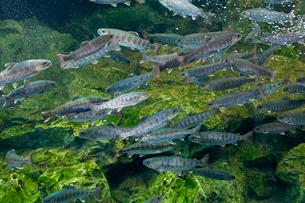 京都水族館 淡水魚の写真素材 [FYI03959084]