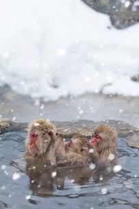 温泉に入るサルの写真素材 [FYI03959090]