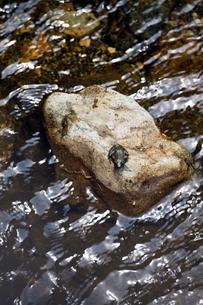 カジカガエルの写真素材 [FYI03959121]