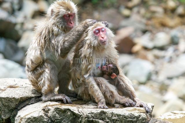 地獄谷野猿公苑   サルの写真素材 [FYI03959151]