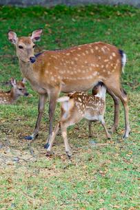 鹿の親子の写真素材 [FYI03959345]