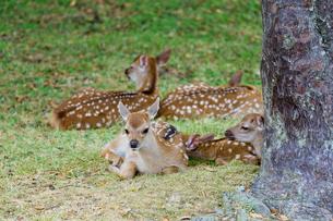 子鹿の写真素材 [FYI03959346]