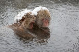 雪猿の写真素材 [FYI03959541]