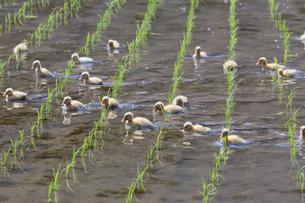 アイガモ農法の写真素材 [FYI03959578]
