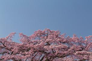 佐野藤右衛門邸 桜の写真素材 [FYI03959919]