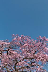 佐野藤右衛門邸 桜の写真素材 [FYI03959920]