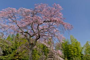 佐野藤右衛門邸 桜の写真素材 [FYI03959922]